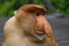 Animals That You Didn't Know Exist - the Proboscis Monkey - OMG it's Jimmy Durante reincarnated.