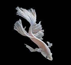Siamese fighting fish | Art and design | The Guardian