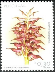 Orchid:Orchis coriophora