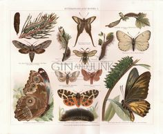 Antique Butterfly Print, Butterflies and Moths colour illustration, Print from 1904, Moth lithograph, Insect Print, Caterpillar drawing by GinAndJunk on Etsy https://www.etsy.com/uk/listing/518528224/antique-butterfly-print-butterflies-and