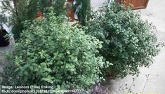 40 Small or Dwarf Evergreen Shrubs (With Pictures and Names) Dwarf Evergreen Shrubs, Evergreen Bush, Dwarf Shrubs, Hedging Plants, Garden Plants, Yew Shrub, Shrubs For Borders, Holly Shrub, Low Growing Shrubs