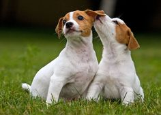 Super Dogs And Puppies Jack Russell Sweets Ideas Puppy Images, Puppy Pictures, Animal Pictures, Pictures Images, Cute Puppies, Cute Dogs, Dogs And Puppies, Doggies, Maltese Puppies