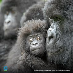 Female gorilla and 4-month old baby named Kabila in the Democratic Republic of the Congo.  Conservation International.