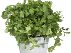 What is Cilantro? Chinese parsley is known as Cilantro and is the designation given to coriander plant. Cilantro comes in fruit form resembling a seed. How To Harvest Cilantro, Cilantro Plant, Terrarium, Alkaline Diet Recipes, Coriander Seeds, Coriander Cilantro, Cilantro Rice, Vegetable Garden, Natural Remedies