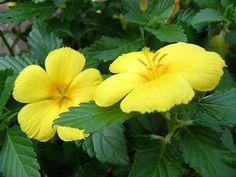 Turnera ulmifolia - Yellow Alder