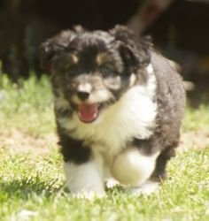 Puppies - Saddleback Aussie Doodles