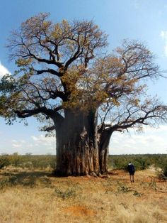 Ancient baobab trees are dotted around the landscape. Old Trees, Small Trees, Weird Trees, African Tree, Baobab Tree, Single Tree, Unique Trees, Nature Tree, Tree Leaves