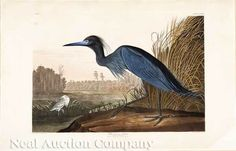 Audubon, John James; Engraving & Aquatint, (after, Havell), Blue Crane, or Heron, Elephant Folio.