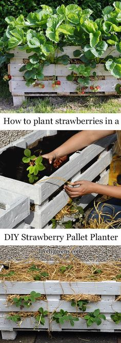 How to plant strawberries in this DIY Pallet Planter