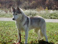 Grey & white Siberian Husky, Dancer.  Gorgeous!