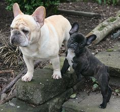Dexter poses in the garden with his daughter Dolly. Tahoma French Bulldogs