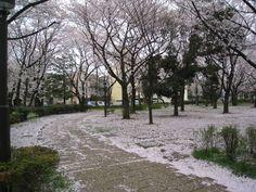 桜2(sakura)、Cherry Blossom、My photo