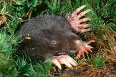 Star nosed moles are one of the most distinctive types of mammal. Their noses are hairless and ringed by a unique 'star' of 22 pink, fleshy tentacles. Star-nosed moles are found in a variety of habitats with moist soil. Unlike other North American moles, they prefer areas of poor drainage.