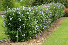 Rose of Sharon Hedge Best Picture For flower garden ideas in front of house easy For Your Taste You Hedges Landscaping, Garden Hedges, Front Yard Landscaping, Hydrangea Landscaping, Backyard Landscaping, Rose Hedge, Flower Hedge, Front Yard Hedges, Front Yards