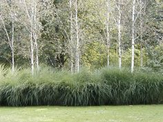 Birch trees River birch underplanted with native grasses (virgata) at west end of house garden Modern Landscaping, Landscaping Plants, Landscaping Ideas, Back Gardens, Outdoor Gardens, Landscape Architecture, Landscape Design, Casas Country, Ornamental Grasses