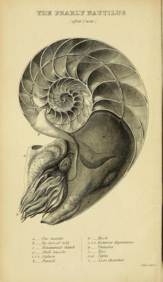 "theartfulgene: "" Nautilus is one of the best examples of the logarithmic spirals found in nature. Famous mathematician Jacob Bernoulli said that logarithmic spirals are a symbol of ""fortitude and..."