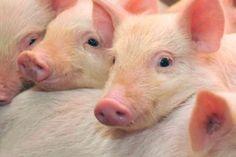 I maiali sono stati definiti animali da compagnia