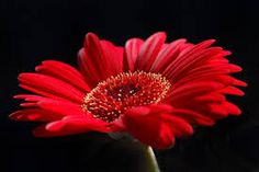 Image result for red flower