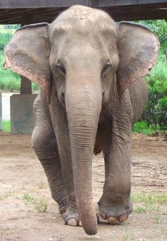 A victim of incredible abuse, Medo now lives in peace on the Elephant Nature Park. Scared by her past with a terrible limp and dislocated limp...but wow look at that face. her eyes speak to me...she is beautiful