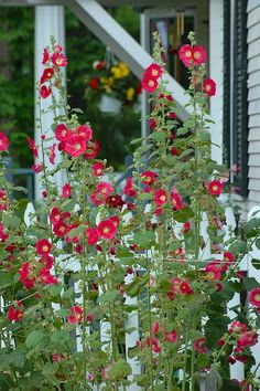 hollyhocks and picket fence