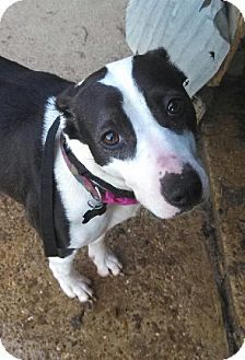 Hagerstown, MD - American Staffordshire Terrier/American Pit Bull Terrier Mix. Meet Coco - URGENT!, a dog for adoption. http://www.adoptapet.com/pet/10489885-hagerstown-maryland-american-staffordshire-terrier-mix