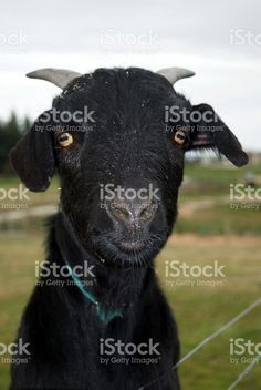 Black Goat royalty-free stock photo