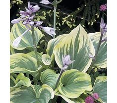 """Hosta Magic Fire: height: 20"""" light: full or part shade blooms in: July spacing: 3ft"""