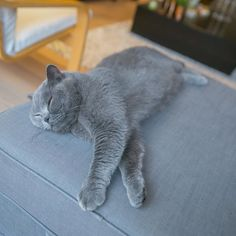 Sundays should come with a pause button  Be sure to hit follow for awesome picture and video! --------------------------------- Follow me: -@britishshorthairloves --------------------------------- Douple tap and tag your #BritishShorthair loving friends below! From: @oscar_the_british_shorthair  Have an amazing day   !