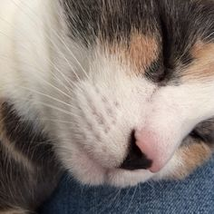 Lucy cat's whisker pod | dilute calico cat