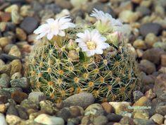 Mammillaria giselae ML677, Cerro Bufa el Diente, San Carlos, Tamaulipas, Mexico, 1100m