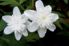 Garden designer Edmund Taylor's tips for growing woodland spring flowers from native plants and list of the best flowering natives for your yard. Amazing Flowers, White Flowers, Beautiful Flowers, Woodland Flowers, Woodland Garden, Spring Flowering Trees, Spring Flowers, Kew Gardens, Botanical Gardens