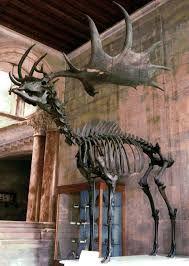 Image result for irish elk found in irish bogs where