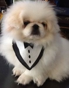 "Click visit site and Check out Cool ""Pekingeses"" T-shirts. This website is superb. Tip: You can search ""your name"" or ""your favorite shirts"" at search bar on the top. Yorkies, Pekingese Puppies, Cute Puppies, Cute Dogs, Dogs And Puppies, Lion Dog, Dog Cat, Baby Animals, Cute Animals"