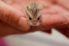 Aawwww, so litle and cute hamster! Robo Dwarf Hamsters, Robo Hamster, Cute Hamsters, Cute Creatures, Beautiful Creatures, Animals Beautiful, Cute Little Animals, Adorable Animals, Tier Fotos