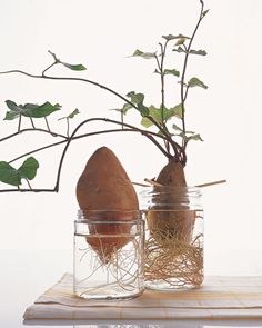 How to Grow Root Vegetables. Interesting pin! I've got a big beautiful sweet potato vine growing on my kitchen counter! It's growing so good!