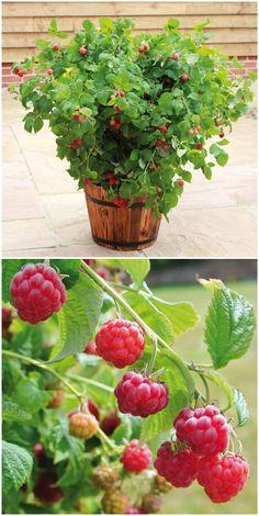 Compact pot raspberry & Beauty& Kompakte Topf-Himbeere 'Ruby Beauty' The compact pot raspberry & Beauty®& delicious and suitable on every balcony. Container Flowers, Flower Pots, Balcony Garden, Plants, Lawn And Garden, Plant Design, Flowers, Container Gardening Vegetables, Balcony Flowers