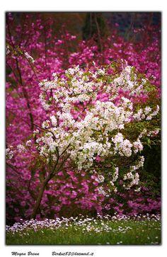 Cerezo en flor   Cherry blossom #primavera #Lizarran