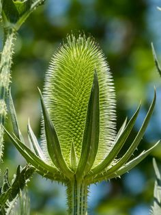 Lime-green Teasel