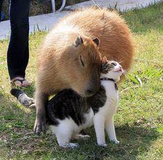 As capivaras são seres populares até entre os gatos <3