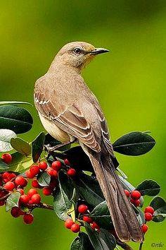 Mockingbird, favorite birds, always outside my window