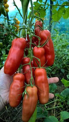 Gamtos kampelis - Auria (Penis) (vid. dydžio, veislė) Tomato Garden, Fruit Garden, Vegetable Garden, Funny Vegetables, Types Of Vegetables, Fruit Plants, Fruit Trees, Fruit And Veg, Fruits And Vegetables
