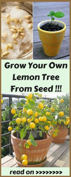 Ways to Grow Your Own Lemon Tree From Seed