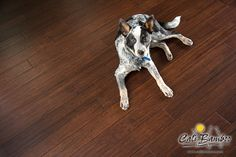 Whatcha looking at? Bodingo relaxing on the Cali Bamboo Antique Cocoa Fossilized Click Bamboo Flooring