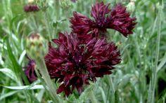 Kornblume, schwarz (Saatgut)