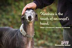 Adopt a greyhound or galgo