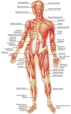 Medical Encyclopedia - Structure: The Body's Muscles - general front view, non gender specific. Human Anatomy Drawing, Human Anatomy And Physiology, Anatomy Study, Anatomy Reference, Human Body Muscles, Human Muscular System, Human Muscle Anatomy, Medical Anatomy, Body Systems