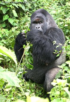 Silverback Gasore in Munyaga group, Virunga National Park, DRC. Silverback Gorilla, Chimpanzee, Gorillas In The Wild, Animals And Pets, Funny Animals, Congo Free State, Dian Fossey, Ape Monkey, Animals