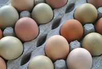 From hobbyfarms.com - Learn about getting good eggs with these tips, plus answers to some common problems. #chickens