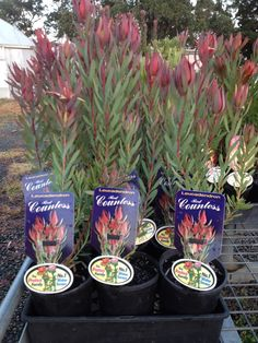 Proteaceae Leucadendron Red Countess 140mm pots