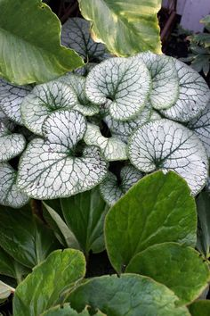 [Brunnera and, I think, bergenia (at the bottom). I'm not sure what the leaves at the top of the photo are.]